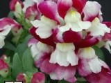Antirrhinum Majus Floral Showers Wine Bicolor Improved