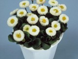 Bellis Galaxy White