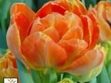 Montecarlo Orange
