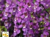 Angelonia Serena Purple