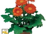 Gerbera Jaguar Deep Orange