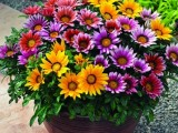 Gazania Kiss Frosty Mix