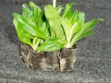 Dianthus Barbatus de esqueje Elmo detalle