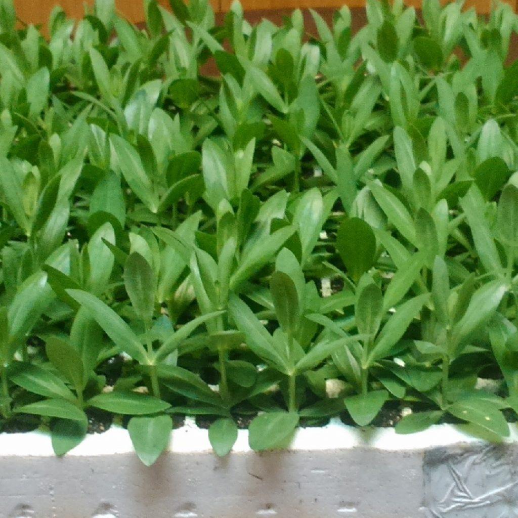 Plantel Lisianthus